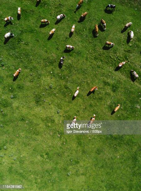 aerial view of cows herd grazing on pasture - grazing stock pictures, royalty-free photos & images