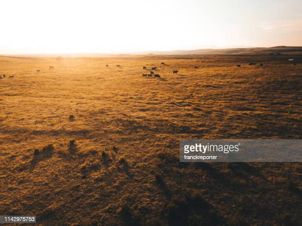 aerial view of cows in montana - prairie stock pictures, royalty-free photos & images
