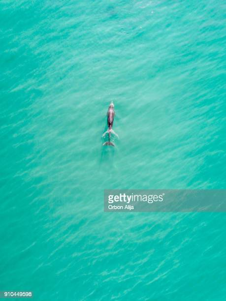 aerial view of dolphins - pacific ocean stock photos and pictures