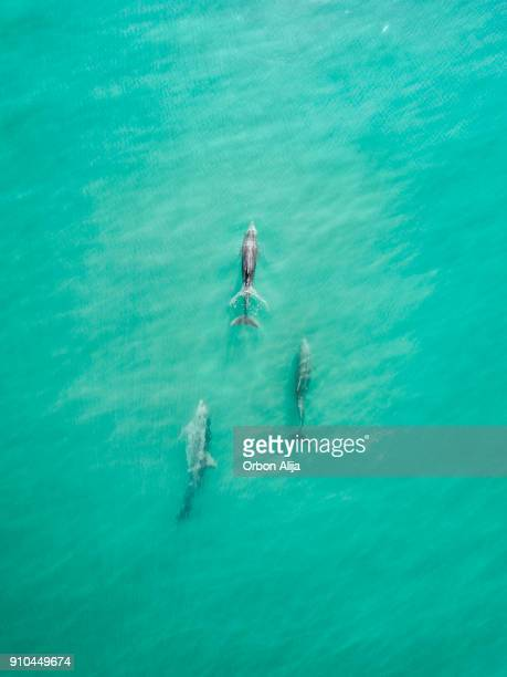 Aerial view of dolphins