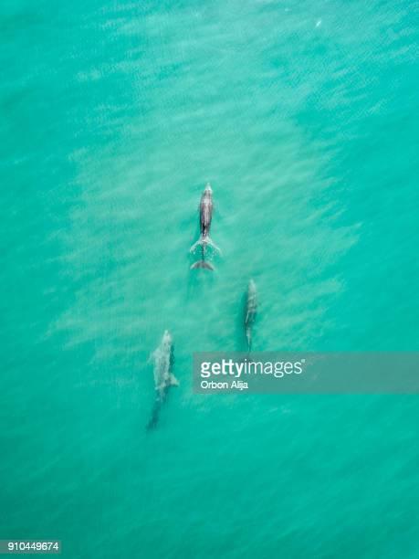 vista aérea de delfines - vida marítima fotografías e imágenes de stock