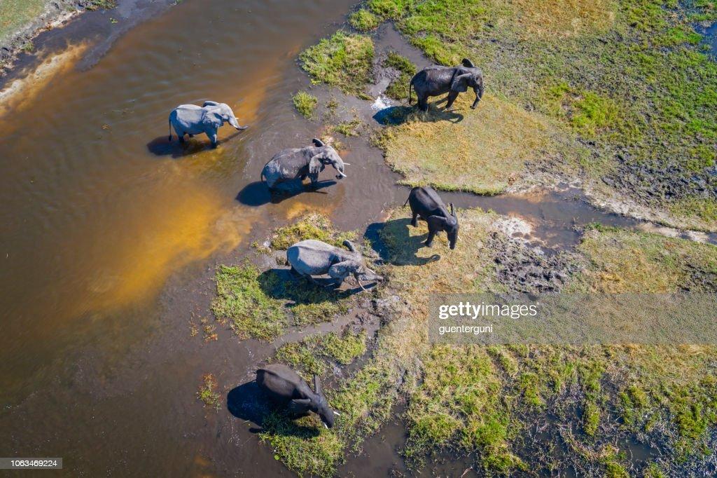 Aerial view of elephants, Okavango Delta, Botswana, Africa : Stock Photo