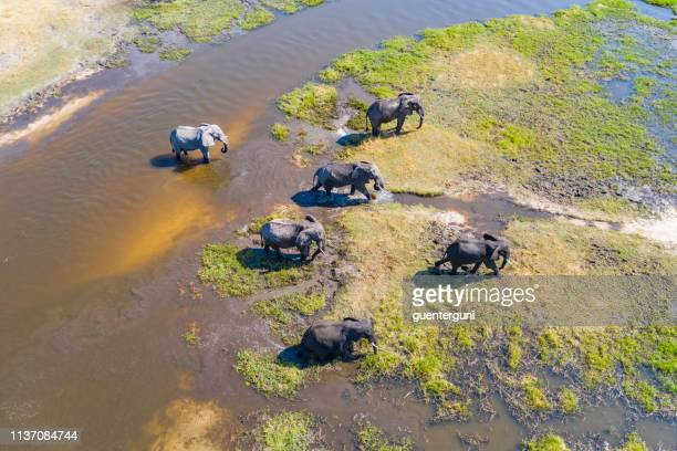 aerial view of elephants, okavango delta, botswana, africa - safari animals stock pictures, royalty-free photos & images