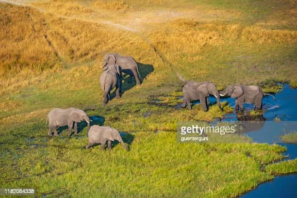 aerial view of elephants, okavango delta, botswana, africa - animal de safari imagens e fotografias de stock