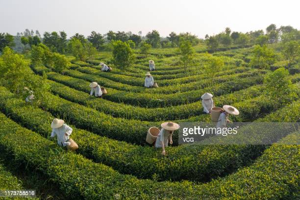 Aerial view of farmers picking tea leaves at a tea garden on September 7, 2019 in Zhanjiang, Guangdong Province of China.