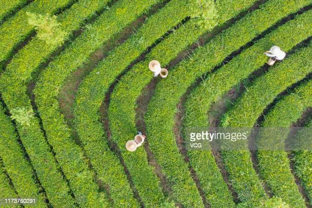 Aerial view of farmers picking tea leaves at a tea garden on September 7 2019 in Zhanjiang Guangdong Province of China