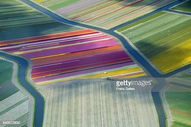 aerial view of flower fields in spring, the netherlands - frans sellies stockfoto's en -beelden