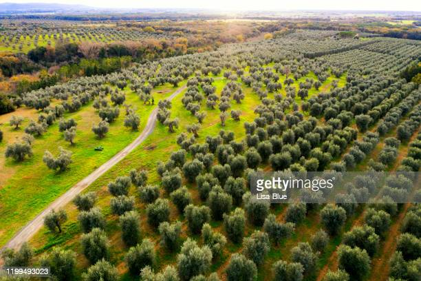 aerial view of footpath amongst olive trees - extra virgin olive oil stock pictures, royalty-free photos & images