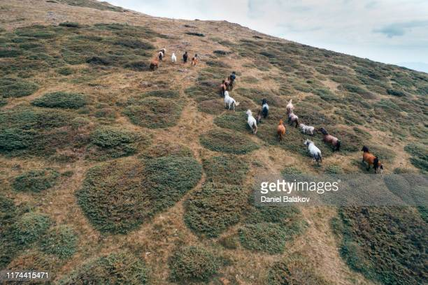 aerial view of free horses running into the wild mountain fields, drone's flight over herd of horses in the high mountains. - pianta selvatica foto e immagini stock