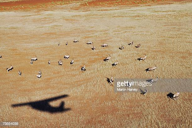 aerial view of gemsbok (oryx gazella) - arid stock pictures, royalty-free photos & images