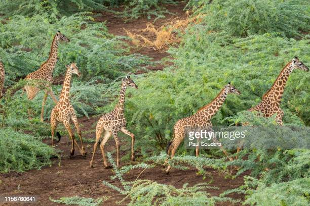 Aerial View of Giraffe Herd in Shompole Conservancy, Kenya