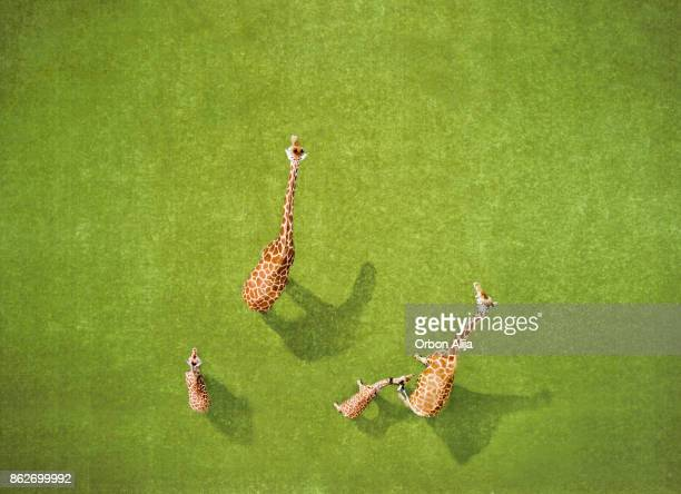 aerial view of giraffes - giraffe stock pictures, royalty-free photos & images