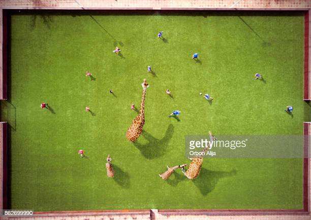 Aerial view of Giraffes playing soccer