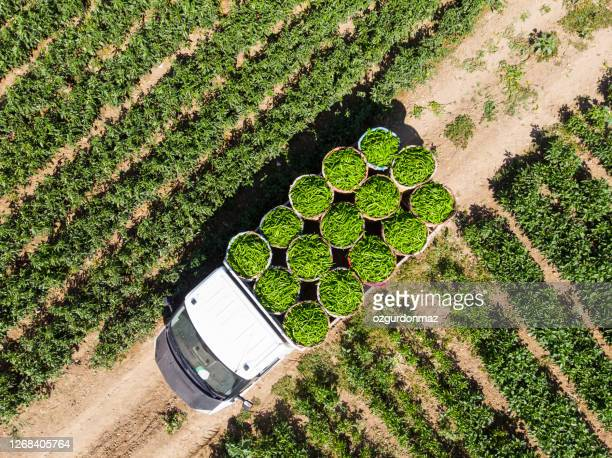 aerial view of green peppers in pepper field - ripe stock pictures, royalty-free photos & images