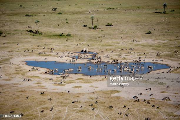 aerial view of herd of migrating zebras drinking at a waterhole on the makgadikgadi pans,botswana - waterhole stock pictures, royalty-free photos & images