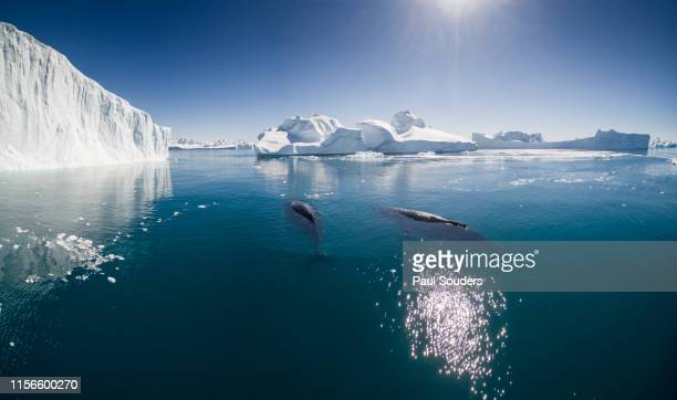 aerial view of  humpback whales and icebergs, ilulissat, greenland - ilulissat stock-fotos und bilder