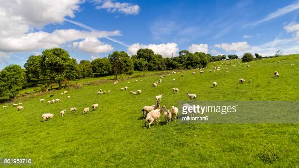Aerial view of Irish sheep on sunny summer day in Tipperary fields.