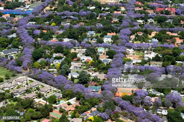 Aerial view of Jacaranda trees in blossom in Johannesburg suburbs, South Africa