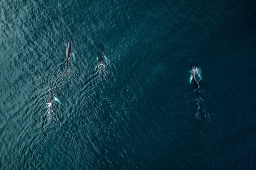 Aerial View Of Killer Whales Swimming In Sea - gettyimageskorea