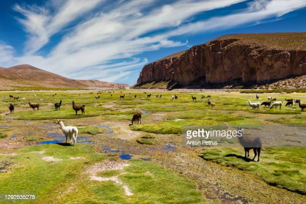 aerial view of lamas on the altiplano, bolivia - animal stock pictures, royalty-free photos & images