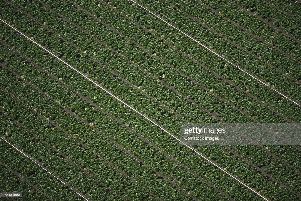 Aerial view of lettuce field : Stockfoto