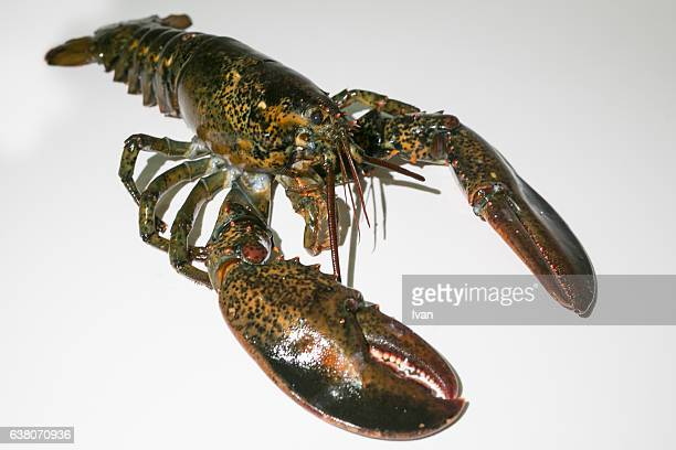 Aerial View of Living lobster