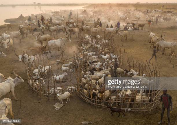 Aerial view of long horns cows in a Mundari tribe cattle camp Central Equatoria Terekeka South Sudan on February 13 2020 in Terekeka South Sudan