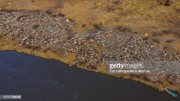 Aerial view of long horns cows in a Mundari tribe cattle camp in front of river Nile Central Equatoria Terekeka South Sudan on February 12 2020 in...