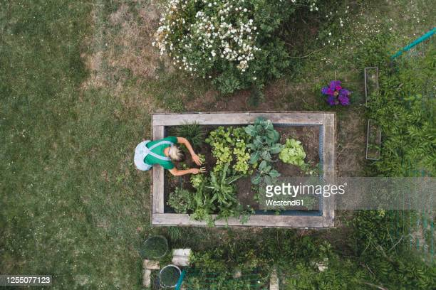 aerial view of mid adult woman planting in raised bed at yard - mid adult women foto e immagini stock