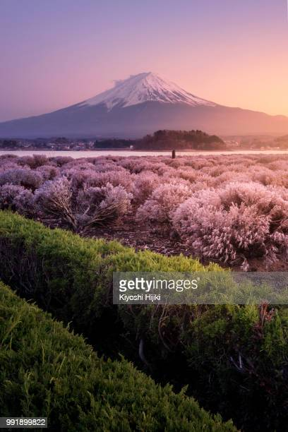 aerial view of mt.fuji from oishi park at sunset - mt. fuji stock pictures, royalty-free photos & images