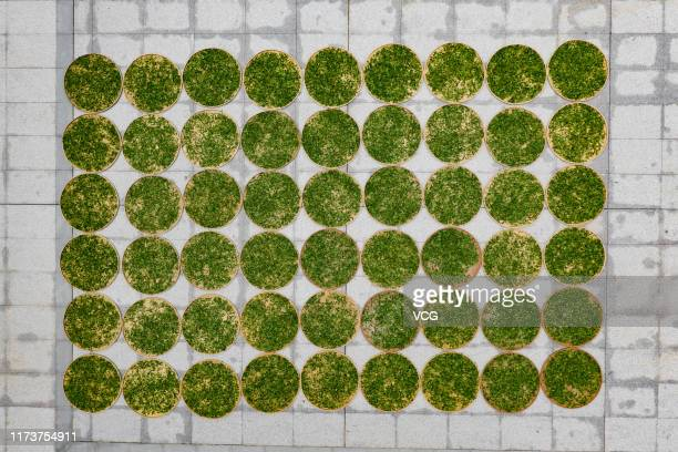 Aerial view of newly picked tea leaves aired on September 7 2019 in Zhanjiang Guangdong Province of China