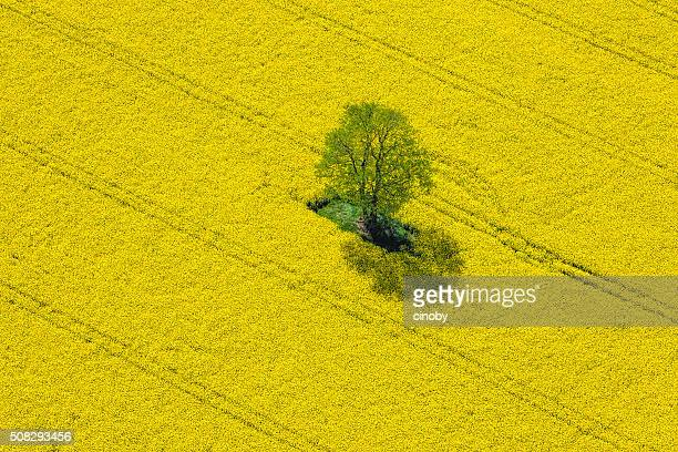 aerial view of oilseed rape field located in germany - natural pattern stock pictures, royalty-free photos & images