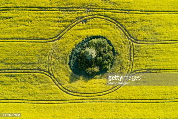 aerial view of oilseed rape field with trees inside, springtime. mecklenburg-vorpommern, mecklenburg western pomerania, germany. - cultivated land stock pictures, royalty-free photos & images