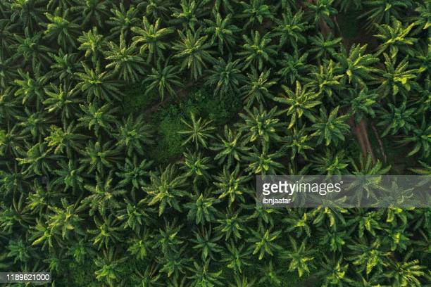 aerial view of palm oil plantation on morning - palm oil stock pictures, royalty-free photos & images