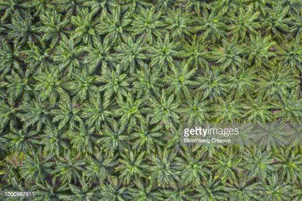 aerial view of palm oil plantation - plantation stock pictures, royalty-free photos & images