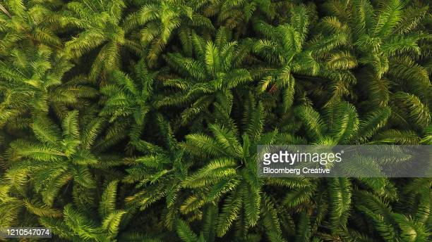 aerial view of palm oil plantation - palm oil stock pictures, royalty-free photos & images