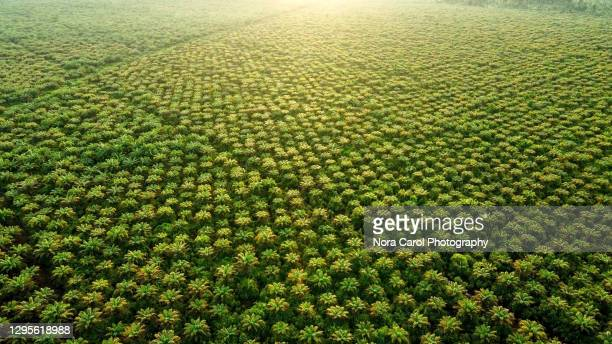 aerial view of palm oil plantation - growth stock pictures, royalty-free photos & images