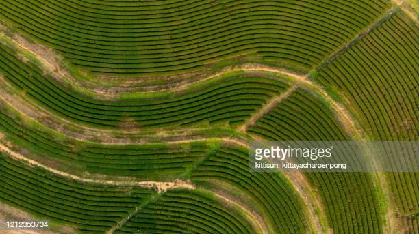 aerial view of planting organic green tea plantation on hill - paisajes de china fotografías e imágenes de stock