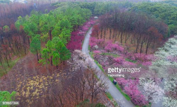 aerial view of plum blossom park in spring season,shanghai,china - peach flower stock pictures, royalty-free photos & images