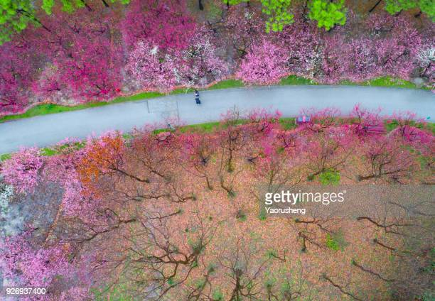 Aerial view of Plum blossom park in spring season,Shanghai,china
