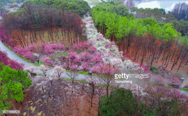 aerial view of plum blossom park in spring season,shanghai,china - peach flower stockfoto's en -beelden