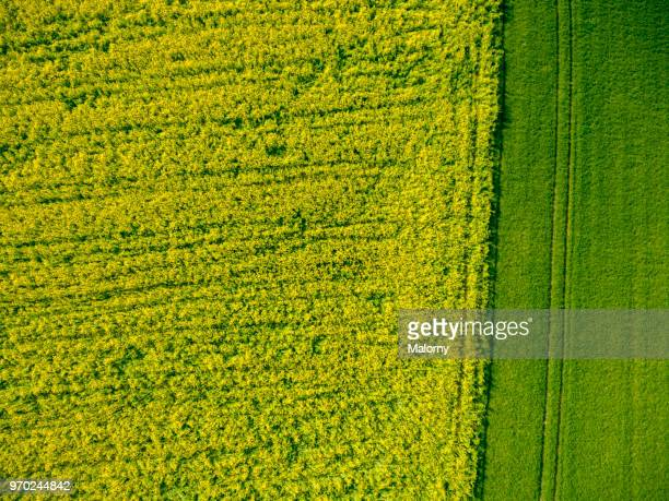 Aerial view of rape field. Directly above. Drone view.