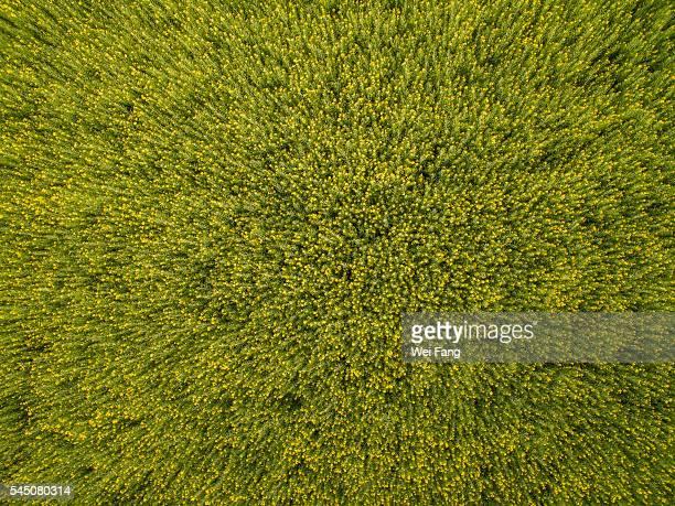 Aerial View of Rapeseed Field