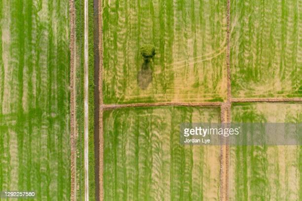 aerial view of rice fields - 生い茂る ストックフォトと画像