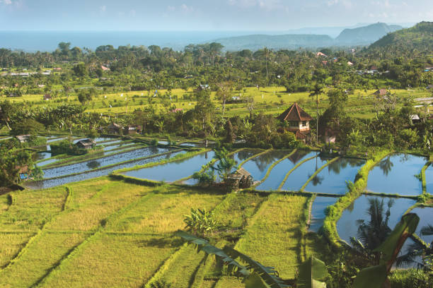 Aerial view of rice paddy,Indonesia