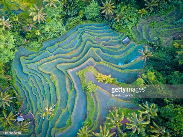 aerial view of rice terrace in bali indonesia - terrassenfeld stock-fotos und bilder