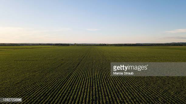 aerial view of rows in cornfield at sunset - イリノイ州 ストックフォトと画像