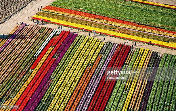 aerial view of rows of colorful tulip fields - ワシントン州 ストックフォトと画像