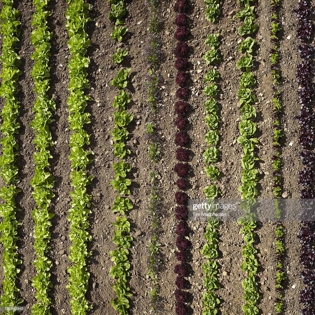 Aerial view of rows of plants : Stock Photo