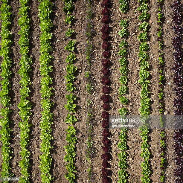aerial view of rows of plants - gemüsegarten stock-fotos und bilder